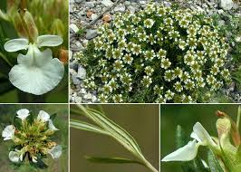Teucrium montanum L. - Sistema informativo sulla flora vascolare ...