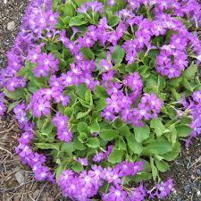 PRIMULA HIRSUTA SEEDS - Plant World Seeds