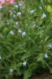 Myosotis arvensis - Michigan Flora