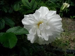 Kuvahaun tulos haulle Rosa BLANC DOUBLE DE COUBERT