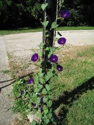 Ipomoea purpurea - Michigan Flora