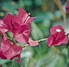 Nyctaginaceae | plant family | Britannica