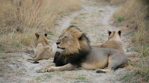 Image result for cecil lion