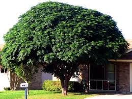 Image result for Chinaberry Tree