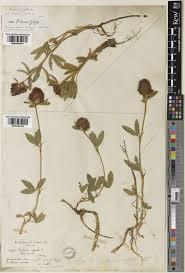 Trifolium alpestre L.   Plants of the World Online   Kew Science