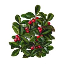 Image result for wintergreen plant
