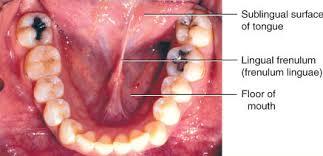 Image result for www.frenulum linguae