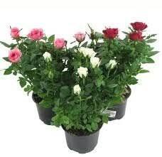 Саженцы многолетних цветов и декоративных растений, семена ...