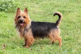 Ο σκύλος Australian Terrier...