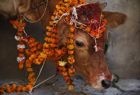 diwali celebrations dazzle hindu devotees worldwide newshour a cow adorned garlands and smeared vermilion powder is pictured during a religious ceremony
