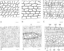 Euterpe, Prestoea, and Neonicholsonia (Palmae)
