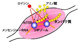 「タンパク質合成」の画像検索結果