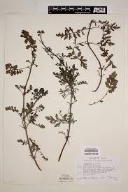 Centranthus calcitrapa - SEINet Portal Network