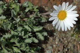 Leucanthemopsis alpina ssp minima (Dwarf Alpine Marguerite ...
