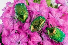 Αποτέλεσμα εικόνας για bugs on flowers