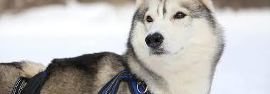 Как правильно подобрать <b>шлейку для собаки</b>? | Hill's Pet