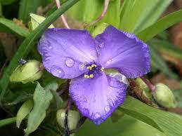 Image result for spiderwort plant