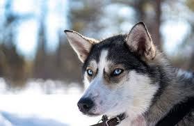 <b>Сибирский хаски</b>: фото собаки, цена, описание породы ...