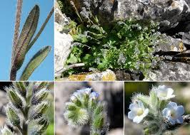 Myosotis ramosissima Rochel subsp. ramosissima - Portale sulla ...