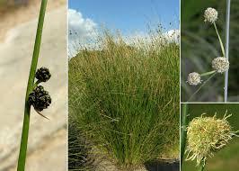 Scirpoides holoschoenus (L.) Soják - Portale sulla flora del basso ...