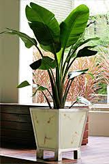 paddington planter with strelitzia nicholi brisbane office plants