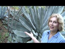 What You MUST Know About Century Plants (Agave americana ...