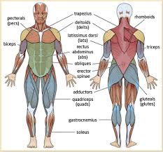 major body muscles diagram   aof comgallery of major body muscles diagram