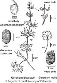 Geranium dissectum
