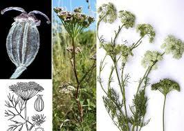 Seseli annuum L. subsp. annuum - Portale sulla flora della Città di ...