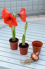 Bulbs for <b>Christmas</b> flowering / RHS Gardening