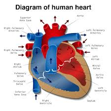 heart disease definition causes research medical news today diagram of the human heart