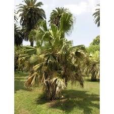 Genere Livistona - Flora Italiana