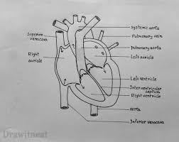 images of easy diagram of the heart   diagramseasy diagram of the heart photo album diagrams