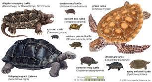 <b>turtle</b> | Species, Classification, & Facts | Britannica