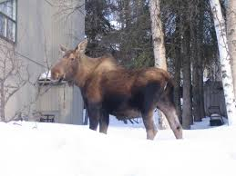 proudly speaking to the community argumentative essay on rules to moose in yard in anchorage alaska
