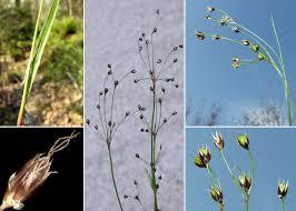 Luzula forsteri (Sm.) DC. - Sistema informativo sulla flora vascolare ...
