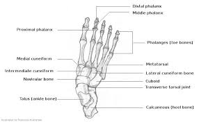 foot diagram for sketching reference   online drawing lessonsbones of feet diagram foot diagrams for drawing