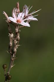 Asphodelus ramosus - Wikipedia