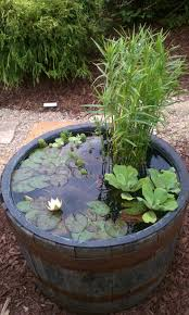diy patio pond: aquatic plants growing in barrel miniature lily pads love it repinned by wwwwatersidenurserycouk uk pond plant amp container pond specialists