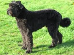Image result for PICTURES AND INFO ON BRIARD DOGS ???