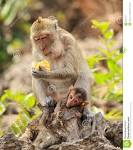 Images & Illustrations of macaca irus