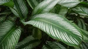 pinstripe_plant brisbane office plants