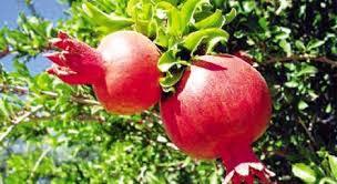 Αποτέλεσμα εικόνας για ροδιά δέντρο