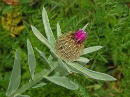 Centaurea uniflora - Wikipedia