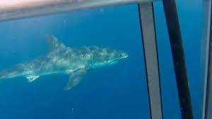 kyle dives back in to swim sharks port lincoln times photo missing link media