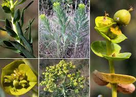 Euphorbia nicaeensis All. subsp. nicaeensis - Sistema informativo ...