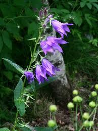 Campanula latifolia - Wikipedia