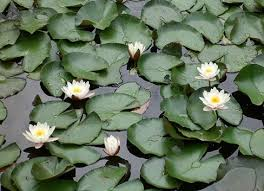 Image result for floating water lily