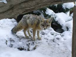 Image result for fox at water
