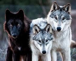 Image result for black wolf